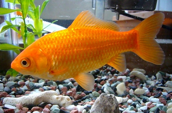 Top 7 Aquaponics Fish Species For Your Home System