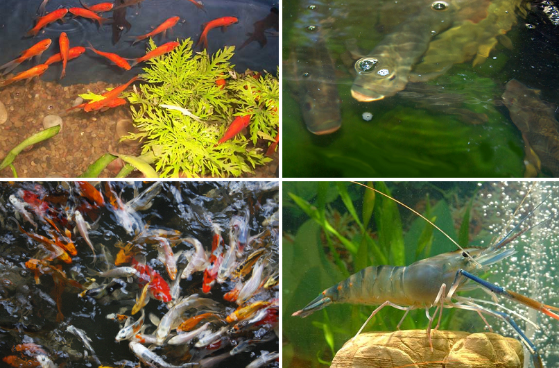 aquaponic fish